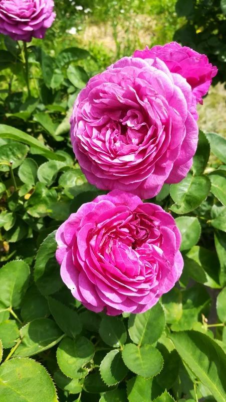 花菜ガーデン 八重咲のバラ